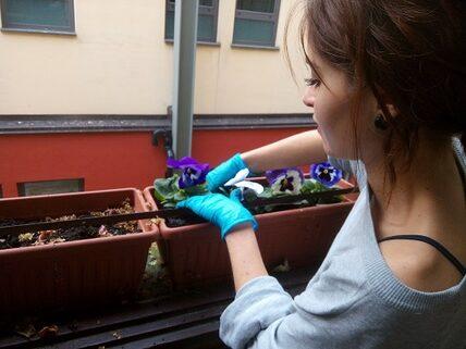 Viole del pensiero nelle fioriere dell'ospedale Mauriziano di Torino